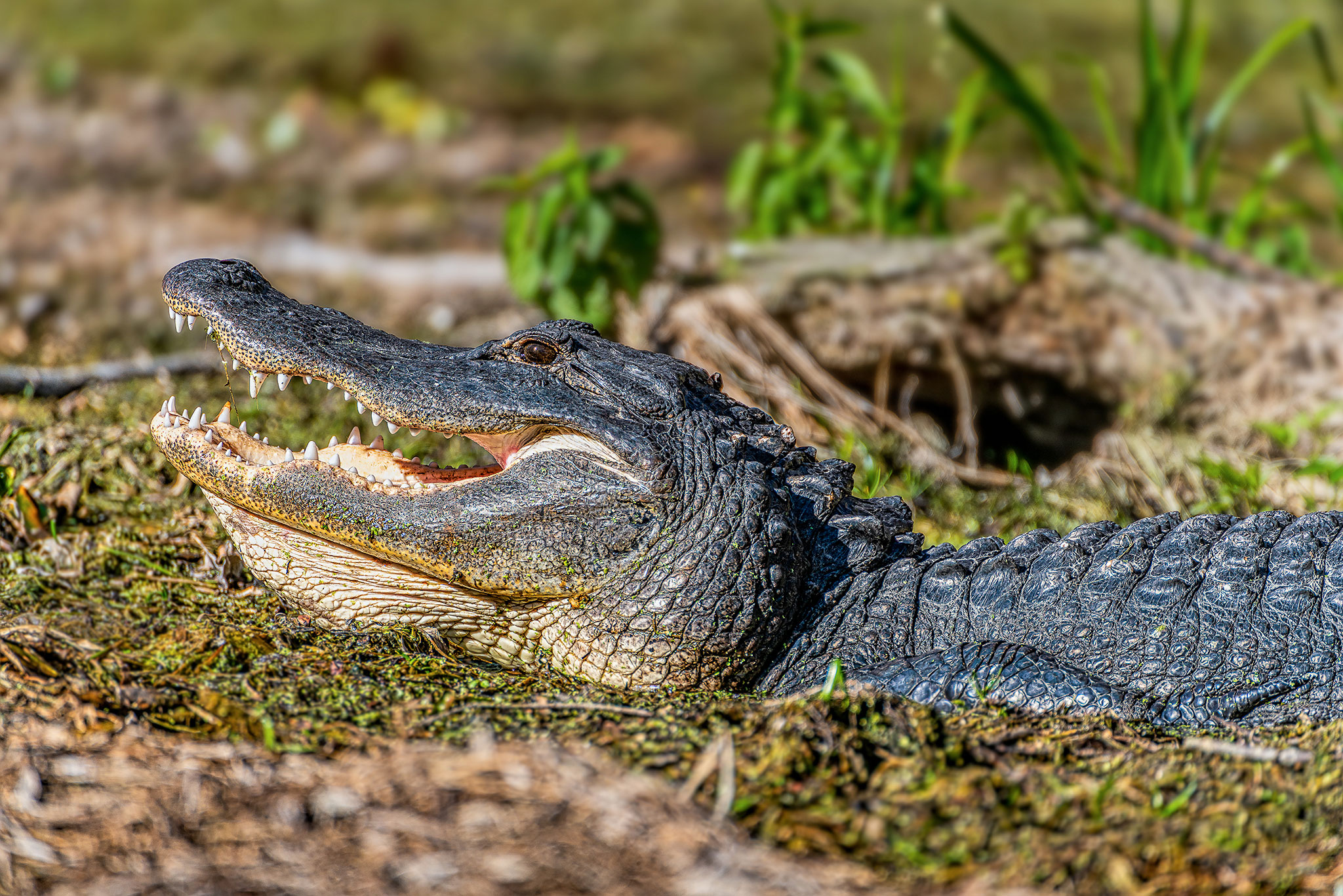 Alligator on the Silver River