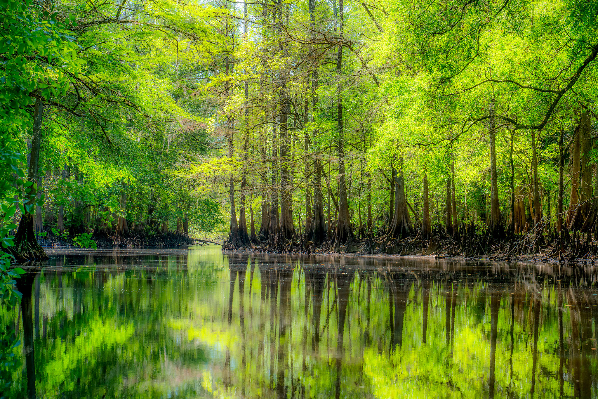 Cypress trees Withlacoochee River